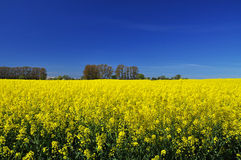 Northern European yellow rapeseed field and blue sky Stock Images