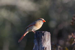 Northern Female Cardinal. Female Redbird on dead tree Royalty Free Stock Photography