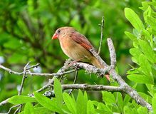 Northern female Cardinal In Tree royalty free stock image