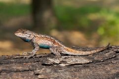 Northern Fence Lizard Stock Image