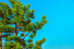 Northern Fir Tree with cones on branches blue sky on background Stock Photos