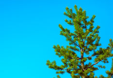 Northern Fir Tree with cones on branches blue sky on background. Scandinavian nature Stock Images