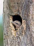 Northern Flicker Royalty Free Stock Photography