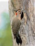 Northern Flicker Stock Photo
