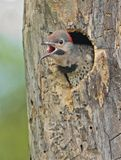 Northern Flicker Stock Image