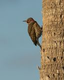 Northern Flicker Stock Images