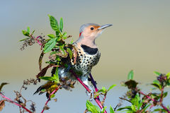 Northern Flicker. Sitting on a berry bush Royalty Free Stock Image