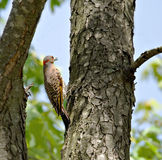 Northern Flicker Royalty Free Stock Images