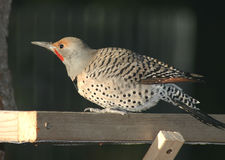 Northern Flicker. A flicker using a table feeder Stock Photo
