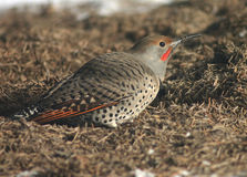 Northern Flicker. A flicker feeding on the ground during winter Stock Photos