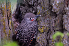 Northern Flicker Baby Out Of The Nest Stock Photos