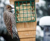 Northern Flicker Bird. Alberta Canada bird feeding on garden birdfeeder during winter snowfall Stock Photo