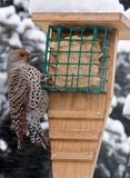 Northern Flicker Bird. Alberta Canada bird feeding on garden birdfeeder during winter snowfall Royalty Free Stock Photography