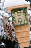Northern Flicker Bird. Alberta Canada bird feeding on garden birdfeeder during winter snowfall Stock Photography