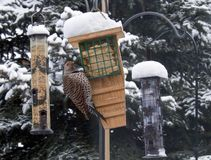 Northern Flicker Bird. Alberta Canada bird feeding on garden birdfeeder during winter snowfall Stock Images