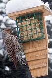 Northern Flicker Bird Royalty Free Stock Photos