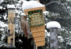 Northern Flicker Bird Stock Image