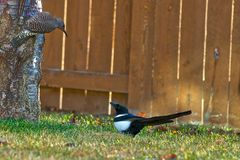 Northern Flicker and Black Billed Magpie Royalty Free Stock Image