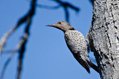 Northern Flicker Clinging To Side of Tree Royalty Free Stock Images