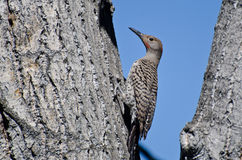 Northern Flicker Clinging To Side of Tree Royalty Free Stock Photos