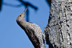 Northern Flicker Clinging To Side of Tree Stock Photography