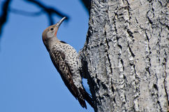 Northern Flicker Clinging To Side of Tree Royalty Free Stock Image