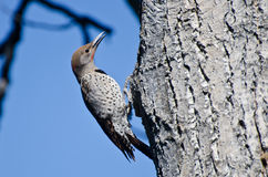 Northern Flicker Clinging To Tree Stock Photos