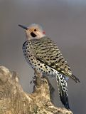 Northern Flicker (Colaptes auratus) Royalty Free Stock Images