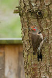 Northern Flicker (Colaptes auratus). royalty free stock photography