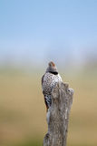 Northern Flicker, Colaptes auratus Stock Image