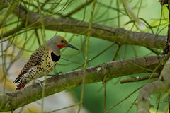Northern Flicker (Colaptes auratus). Royalty Free Stock Photo