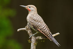 Northern Flicker (Colaptes auratus). Stock Photo