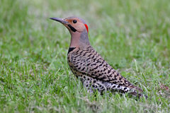 Northern Flicker Colaptes auratus Royalty Free Stock Photos