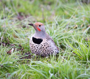 Northern Flicker, Colaptes auratus Stock Images
