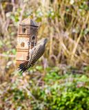 Northern Flicker Colaptes auratus Royalty Free Stock Photography
