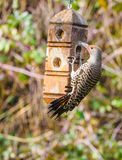 Northern Flicker Colaptes auratus Royalty Free Stock Photo