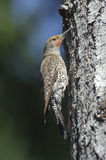 Northern Flicker (Colaptes auratus) Royalty Free Stock Image