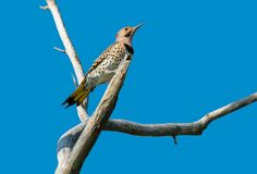 Northern Flicker - Colaptes auratus Royalty Free Stock Photo