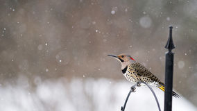 Northern Flicker - Colaptes auratus Stock Images