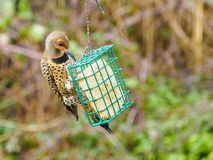 Northern Flicker Colaptes auratus Royalty Free Stock Images