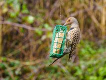 Northern Flicker Colaptes auratus Stock Image