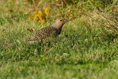 Northern Flicker - Colaptes auratus. Northern Flicker standing in the grass. Also known as the Yellow-shafted Flicker. Colonel Samuel Smith Park, Toronto, Ontrio Royalty Free Stock Photo