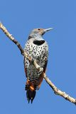 Northern Flicker & x28;Colaptes auratus& x29; Red-shafted Royalty Free Stock Photos