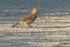 Northern Flicker - Colaptes auratus royalty free stock photography
