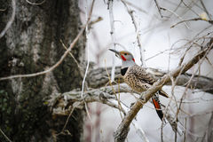 Northern Flicker (Colaptes auratus) Stock Image