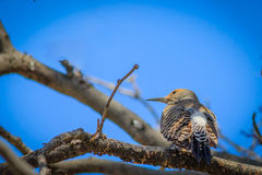 Northern Flicker displaying plumage Stock Photography