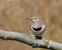 Northern Flicker female. Northern Flicker, red-shafted intergrade female Royalty Free Stock Photo