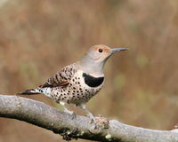 Northern Flicker female. Northern Flicker, red-shafted intergrade female Royalty Free Stock Photos