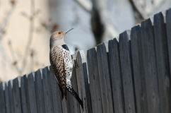 Northern Flicker on Fence Stock Images
