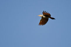 Northern Flicker Flying in a Blue Sky Royalty Free Stock Photography